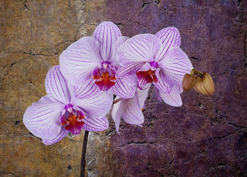 Orquídea rosada y blanca imágenes de archivo libres de regalías