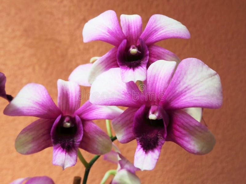 Orquídea rosada y brote de la flor cercanos para arriba en ventana foto de archivo libre de regalías