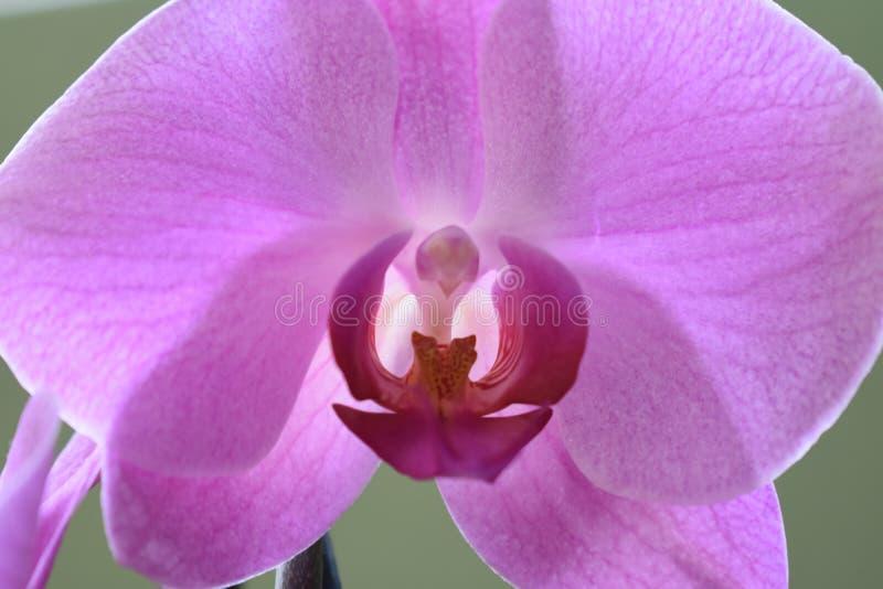 Orquídea roxa bonita fotos de stock royalty free