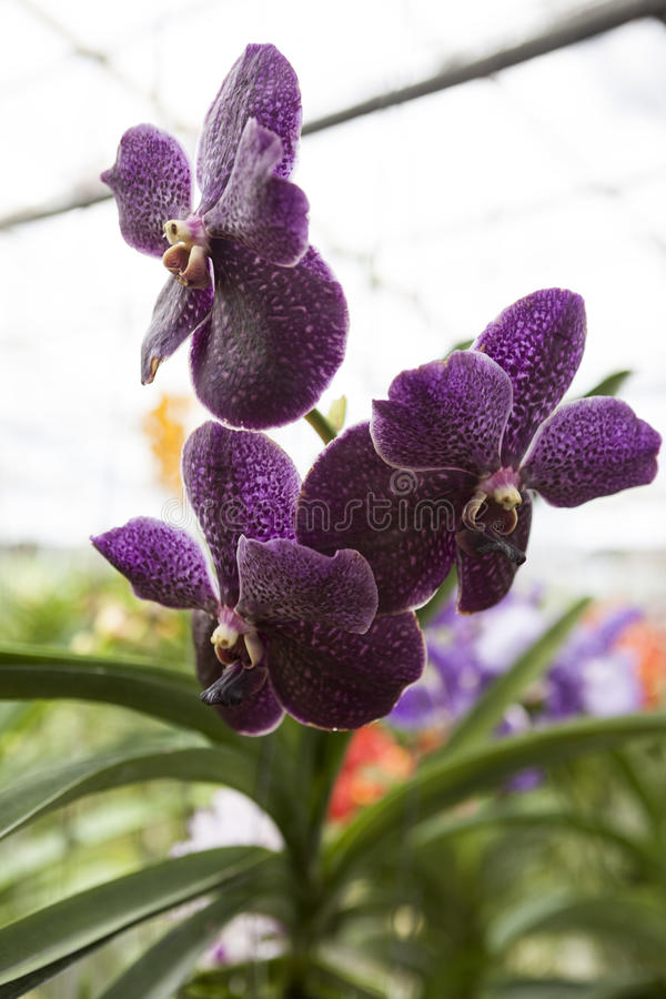 Orquídea roxa bonita da flor três em um close-up do ramo foto de stock royalty free