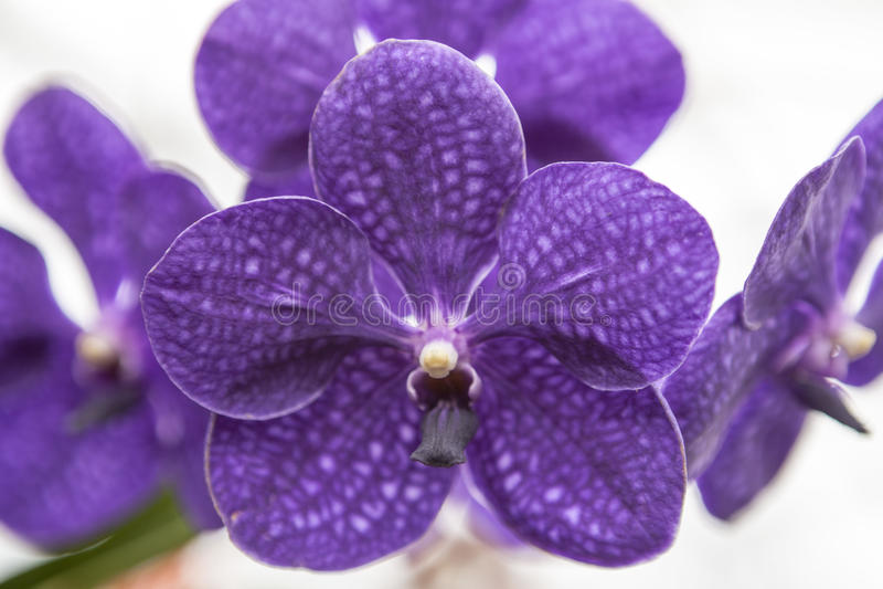 Orquídea roxa bonita da flor três em um close-up do ramo fotografia de stock