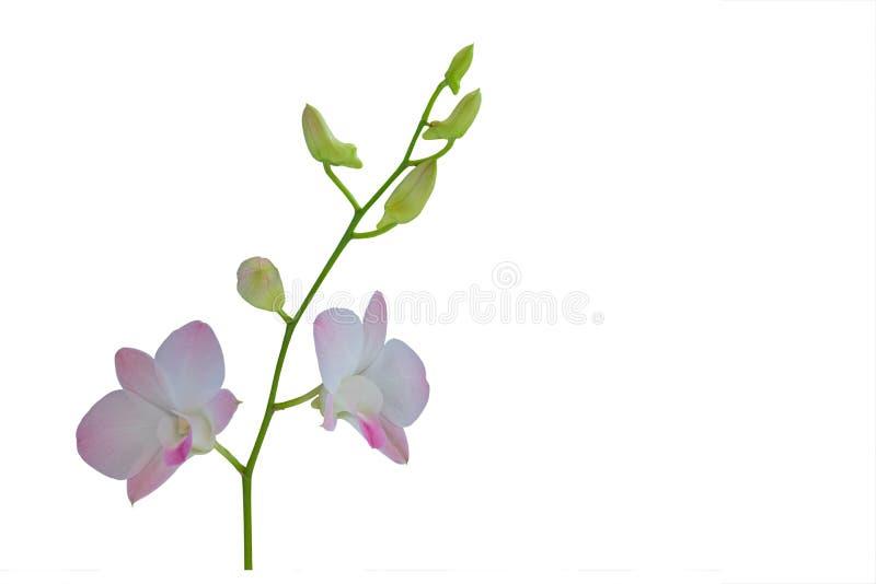 Orquídea roxa bonita no fundo branco fotografia de stock royalty free