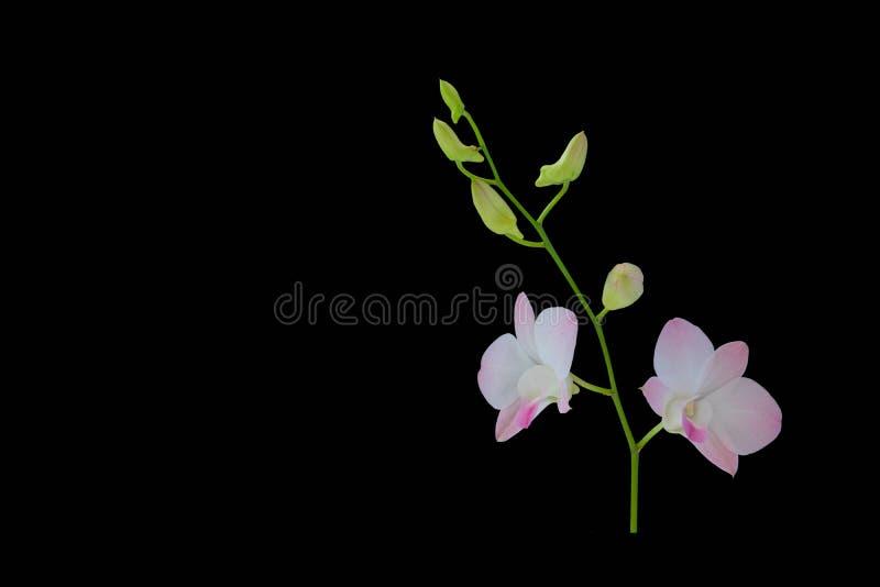 Orquídea roxa bonita no fundo preto fotografia de stock