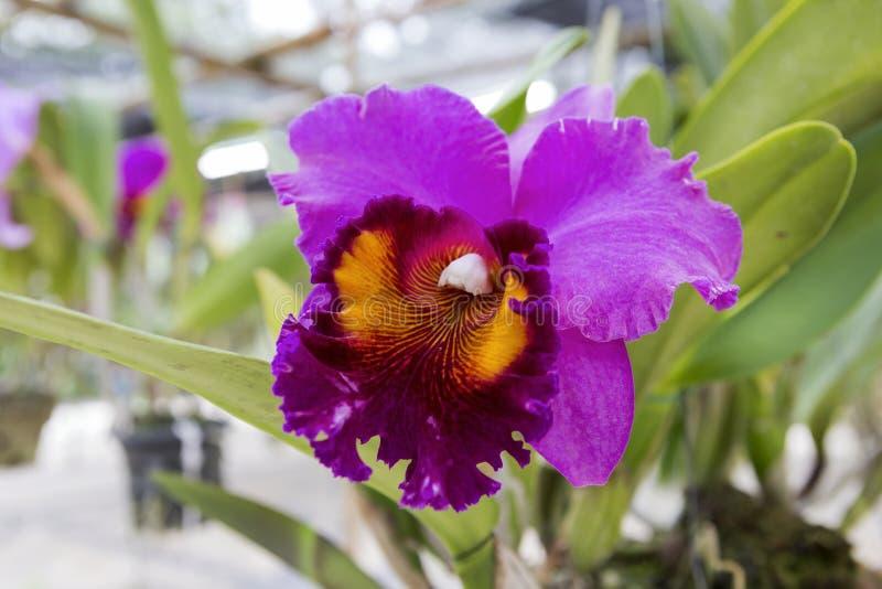 Orquídea roxa de Cattleya da exploração agrícola da orquídea fotos de stock royalty free