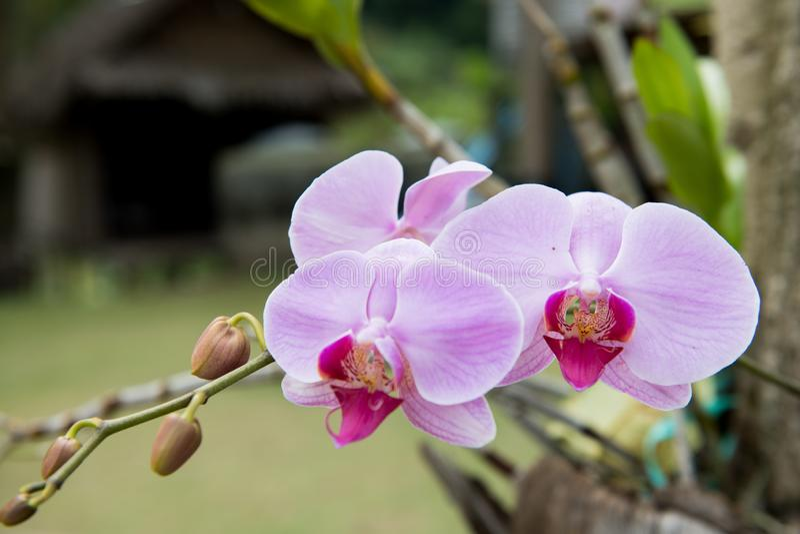A orquídea roxa do Phalaenopsis cresce no jardim imagem de stock royalty free