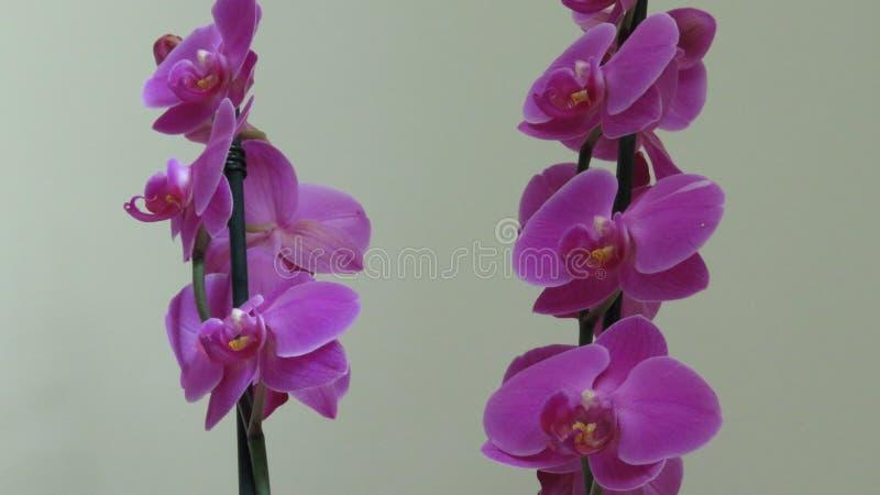Orquídea roxa Fundo cinzento imagens de stock royalty free