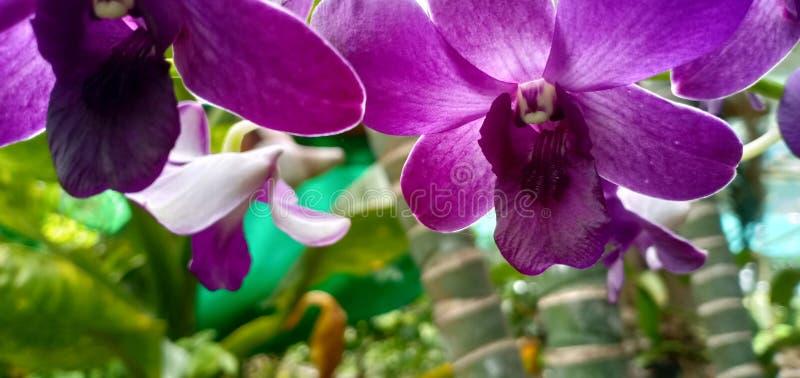 Orquídea roxa na exploração agrícola fotos de stock royalty free