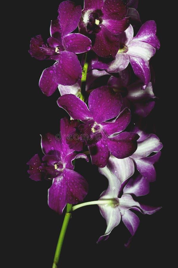 Orquídea roxa no fundo preto foto de stock royalty free