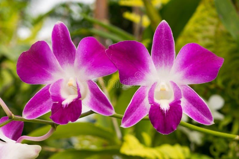 Orquídea roxa no jardim fotografia de stock