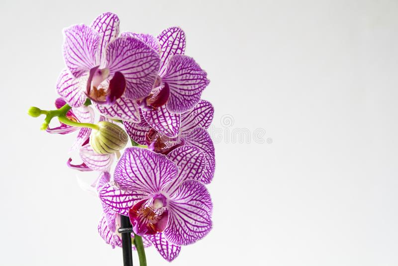 Orquídea roxa sobre fundo branco fotografia de stock royalty free