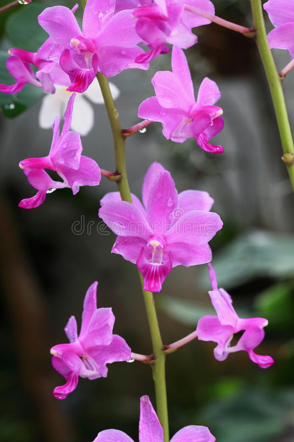 Orquídea Salvaje Fotos de archivo libres de regalías