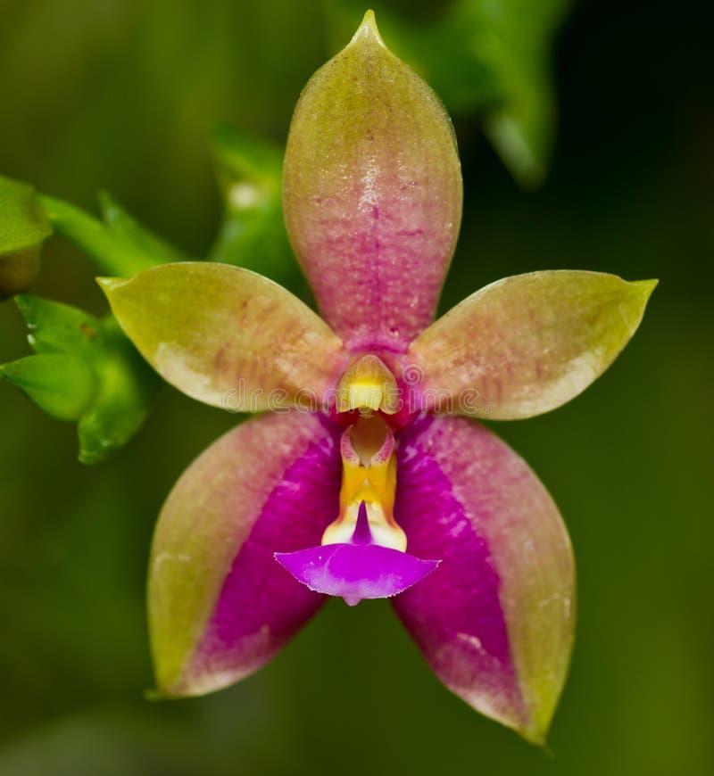 Orquídea salvaje en fondo verde fotografía de archivo libre de regalías
