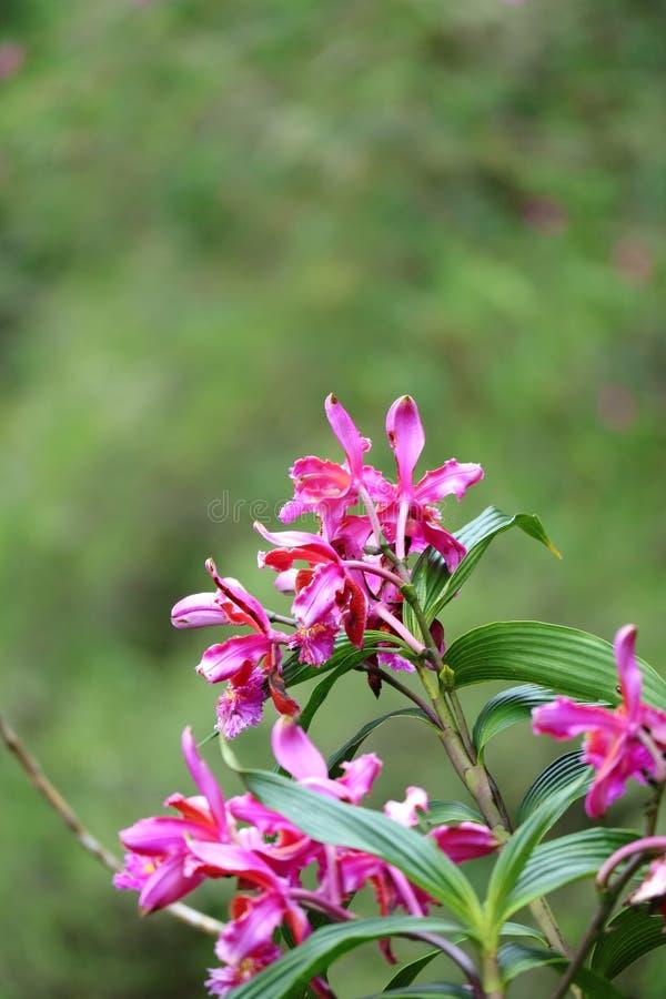 A orquídea selvagem cor-de-rosa vibrante floresce na montanha de Huayna Picchu, Machu Picchu, Cusco, Peru imagens de stock