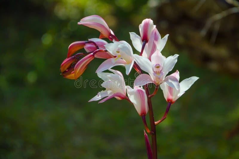 Orquídea selvagem na floresta fotografia de stock royalty free