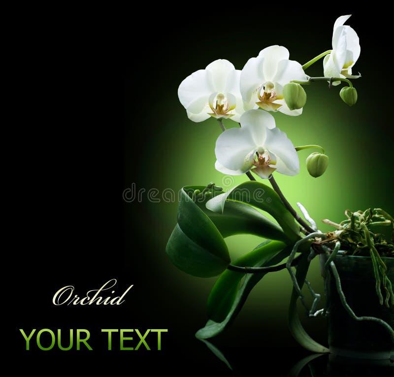 Orquídea sobre o preto fotografia de stock royalty free