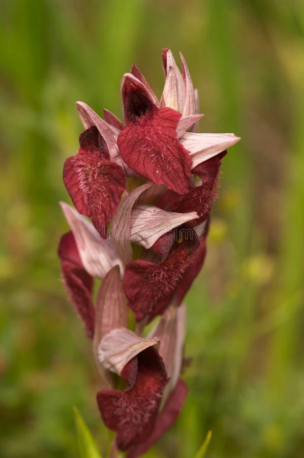 Orquídea (sp dos serapias.) imagem de stock royalty free