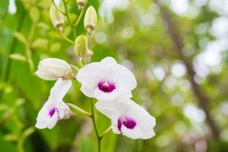 orquídea tailandesa do dendrobium orquídea roxa da inflorescência na árvore Imagem natural imagem para o espaço do fundo, do pape imagem de stock