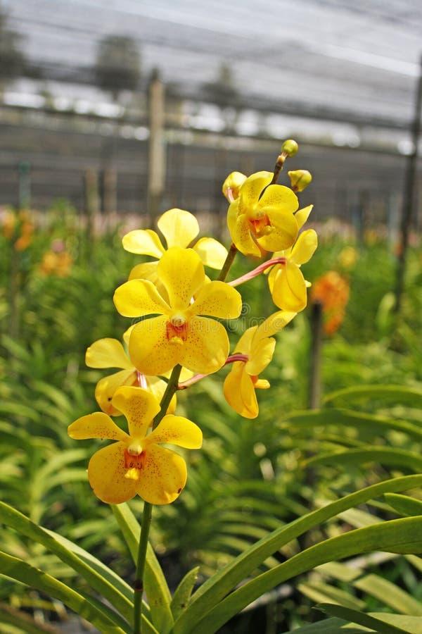 Orquídea tailandesa Flowers-29 imagem de stock