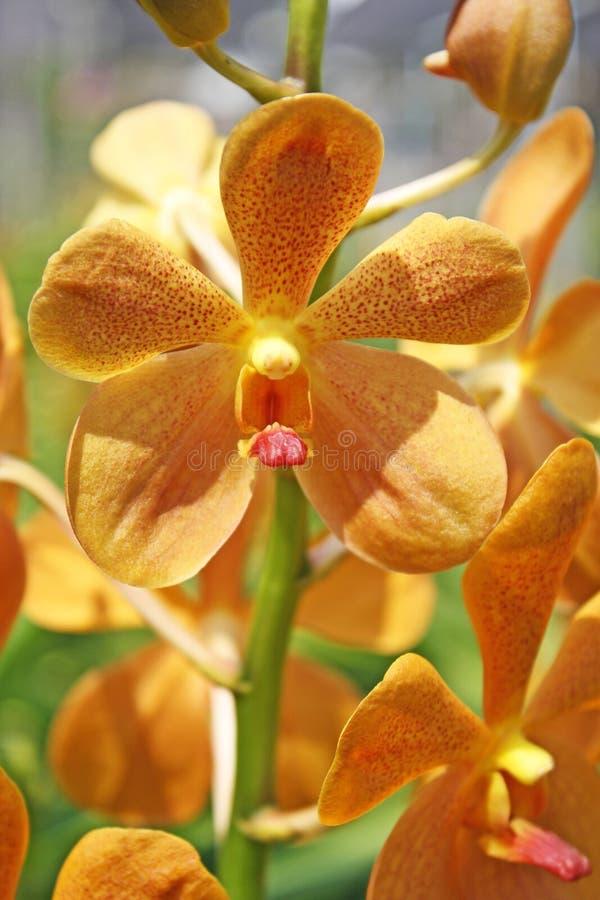 Orquídea tailandesa Flowers-26 imagem de stock