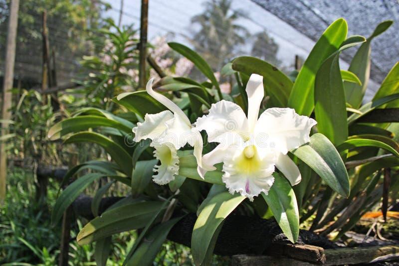 Orquídea tailandesa Flowers-22 fotografia de stock
