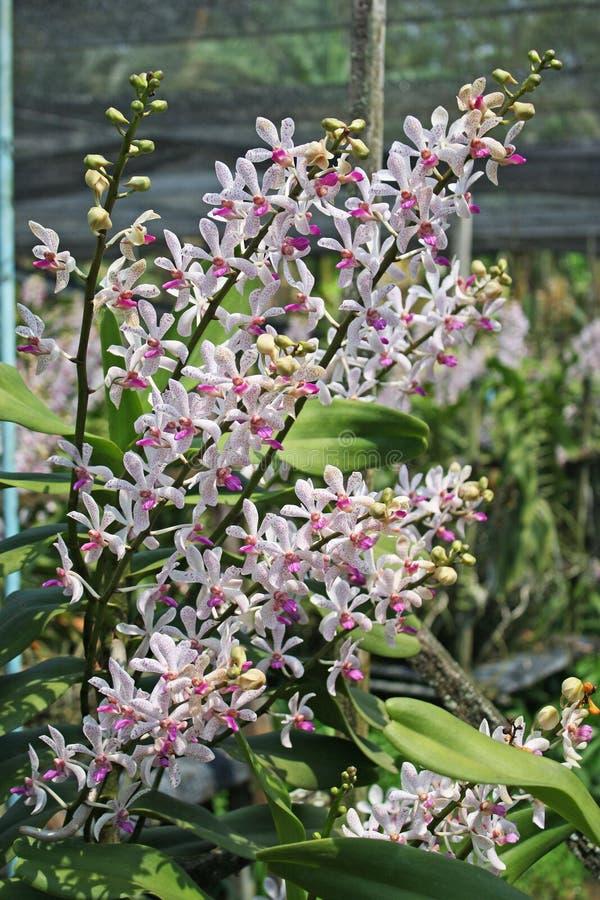 Orquídea tailandesa Flowers-08 fotografia de stock royalty free