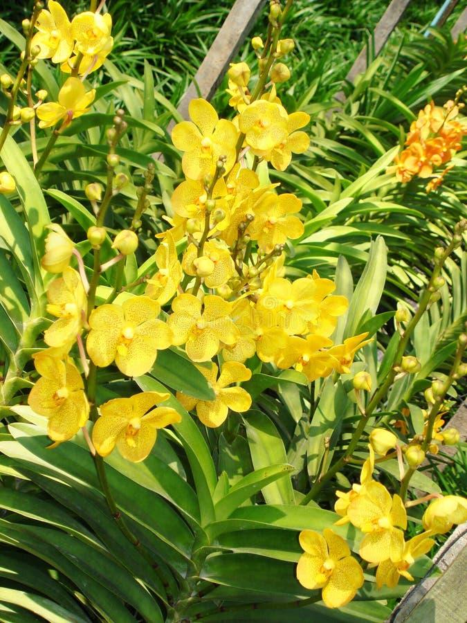Orquídea tailandesa Flowers-06 fotografia de stock
