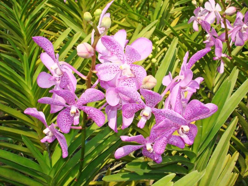 Orquídea tailandesa Flowers-02 imagens de stock royalty free