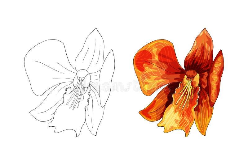 Orquídea tropical, flor roja con las venas anaranjadas y amarillas en el fondo blanco imagenes de archivo