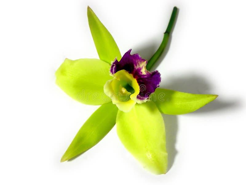 Orquídea verde e roxa fotografia de stock royalty free