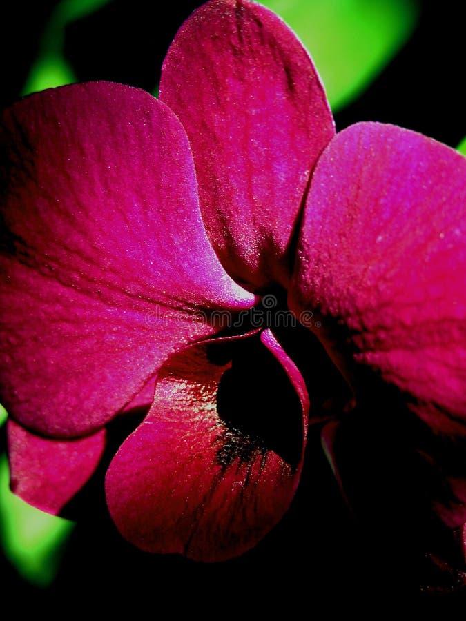 Orquídea vermelha foto de stock royalty free