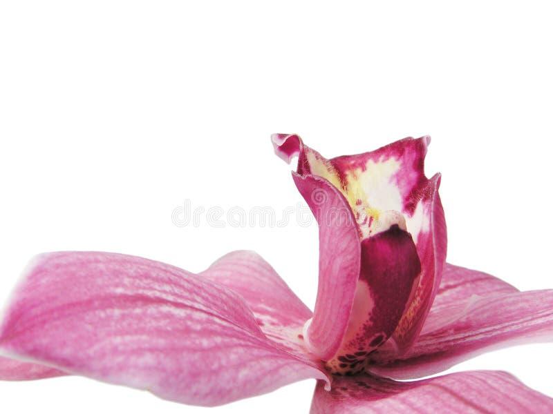 Orquídea vermelha seguinte imagem de stock
