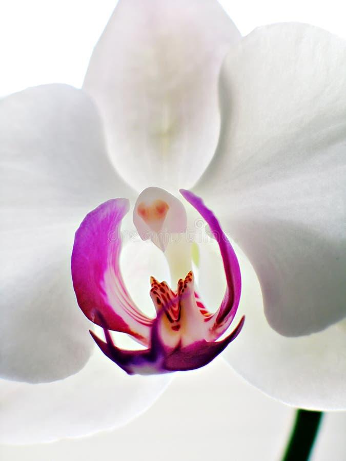 Orquídea vertical do Phalaenopsis fotos de stock