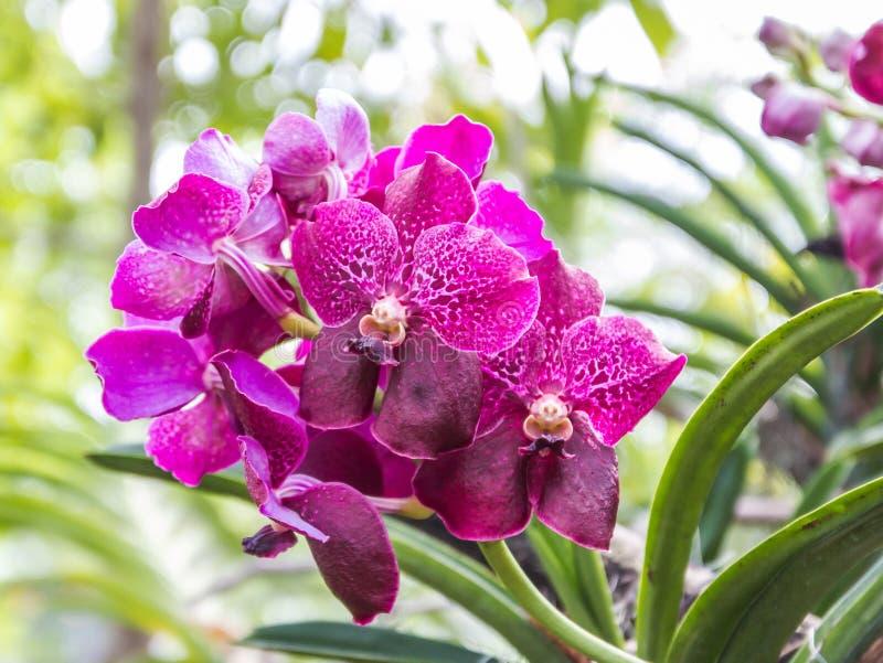 Orquídea violeta de Vanda fotos de stock royalty free