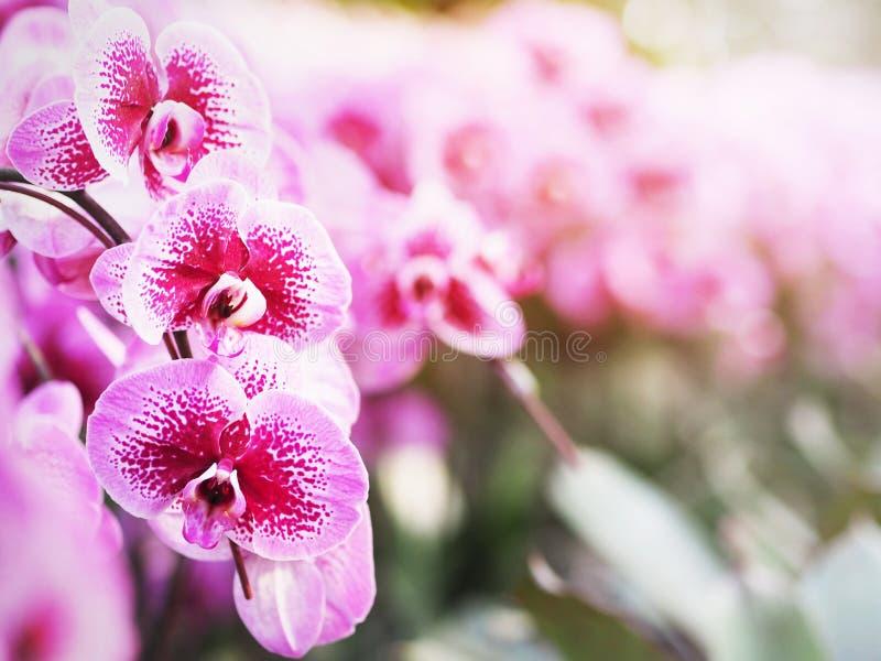 Orquídea violeta del phalaenopsis con la flor floreciente manchada en branc fotografía de archivo libre de regalías