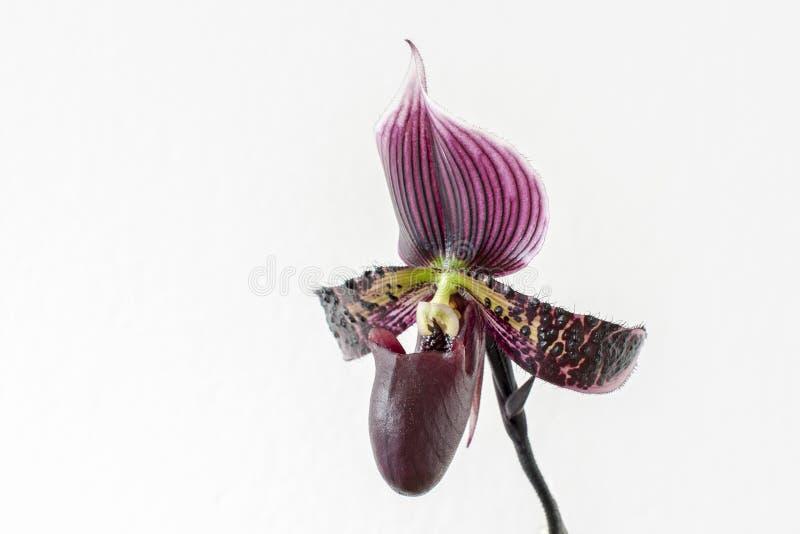 Orquídea violeta hermosa imagen de archivo
