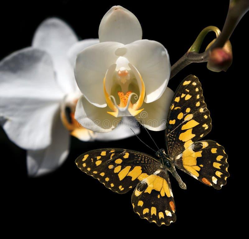 Orquídea y mariposa blancas imagen de archivo