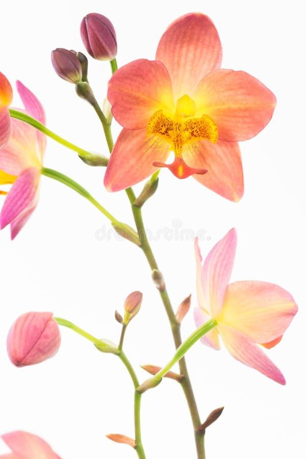 Orquídeas à terra filipinos alaranjadas vermelhas fotografia de stock royalty free
