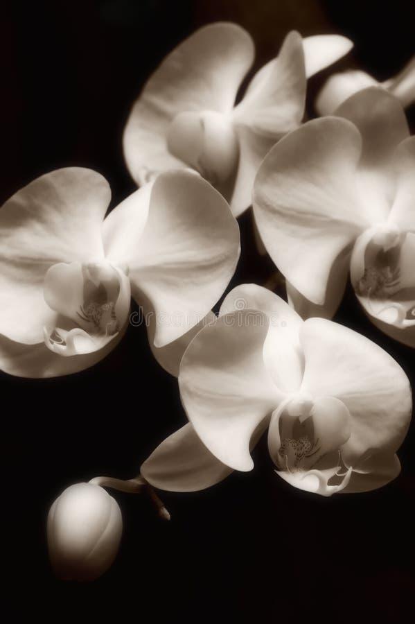 Orquídeas fotografia de stock