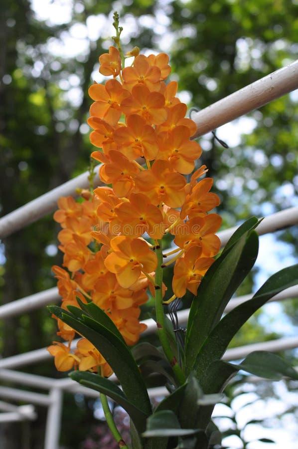 Orquídeas alaranjadas bonitas fotografia de stock