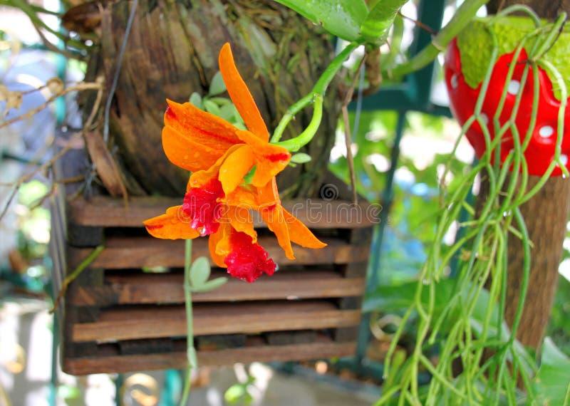 Orquídeas alaranjadas bonitas imagens de stock royalty free