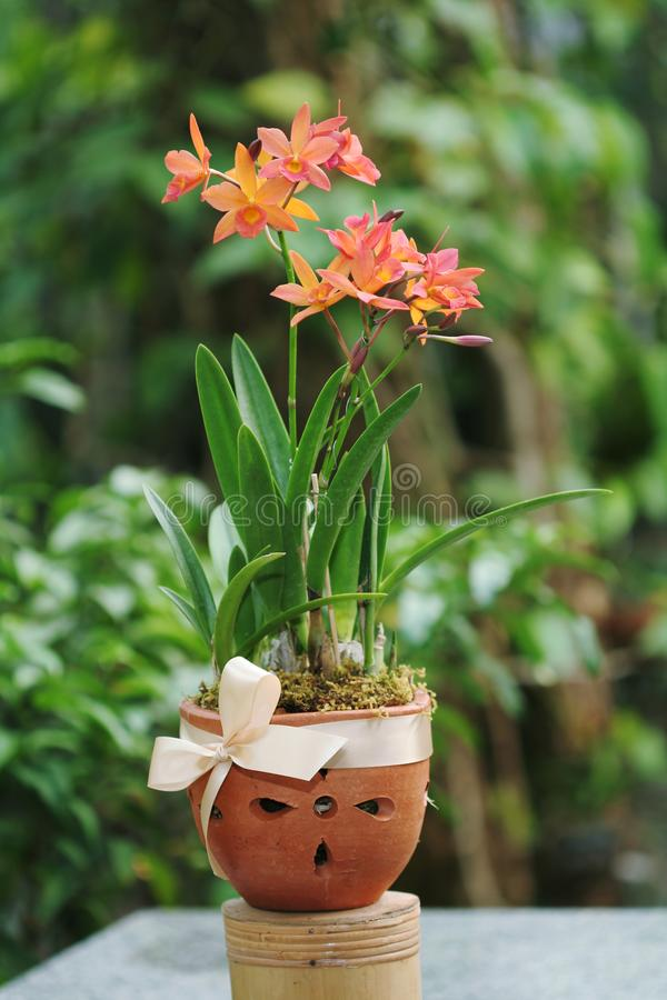 Orquídeas alaranjadas bonitas de Cattleya Muito bonito cada elegante Flor arranjada no potenciômetro de argila Planta de potenciô imagem de stock royalty free