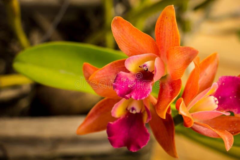 Orquídeas alaranjadas na tabela no estilo do vintage imagens de stock royalty free