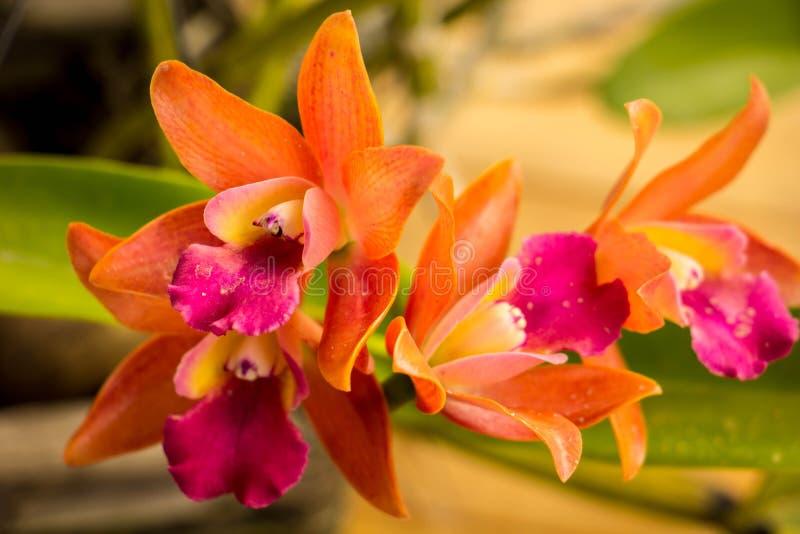 Orquídeas alaranjadas na tabela no estilo do vintage foto de stock royalty free