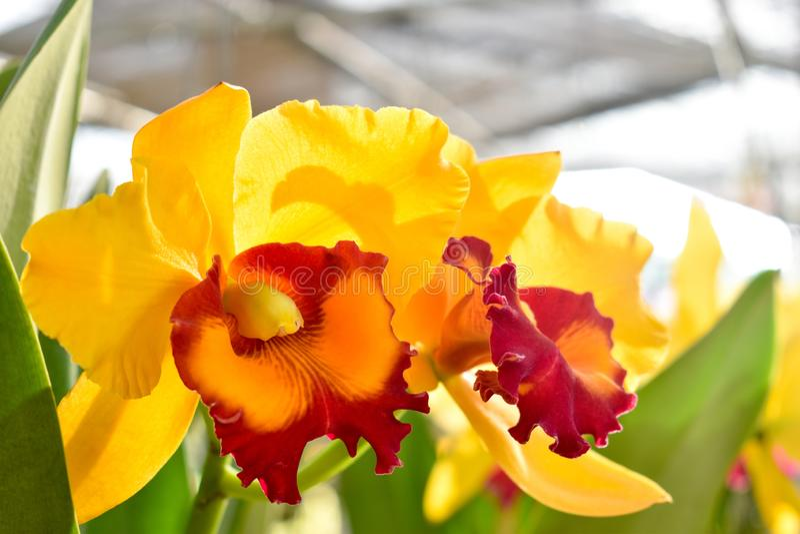 Orquídeas amarelas de Cattleya A luz solar na manhã fá-lo sentir refrescado imagem de stock royalty free