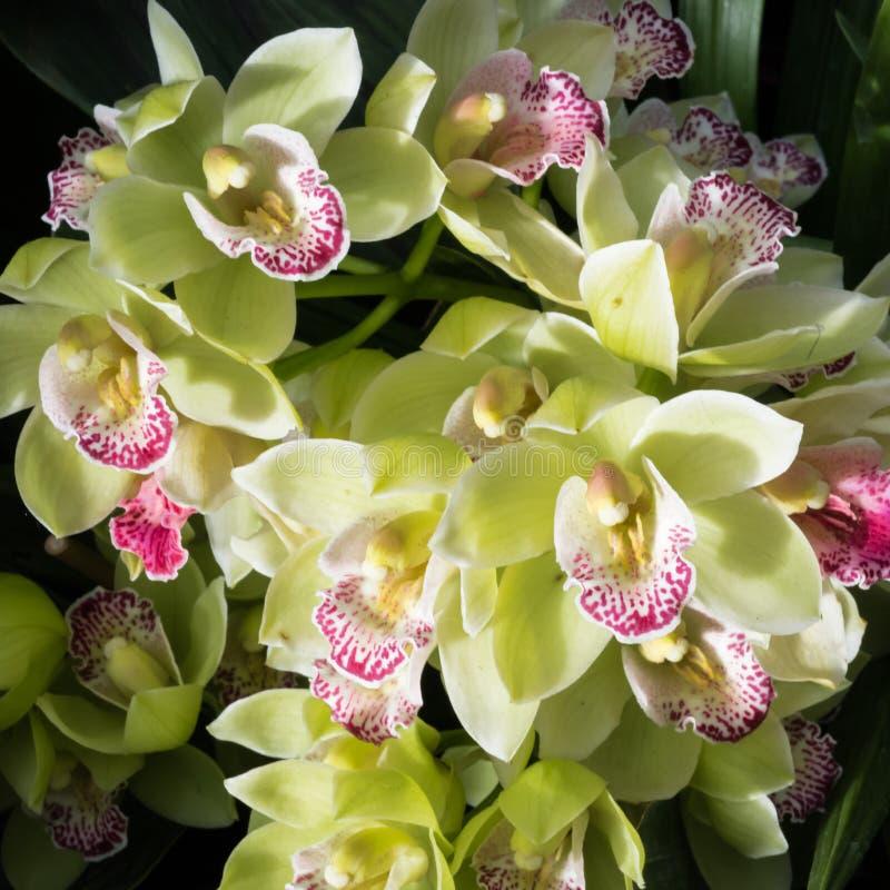 Orquídeas amarelas grandes do barco foto de stock