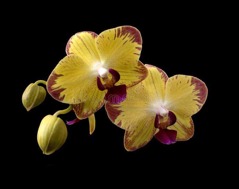 Orquídeas amarillas imágenes de archivo libres de regalías