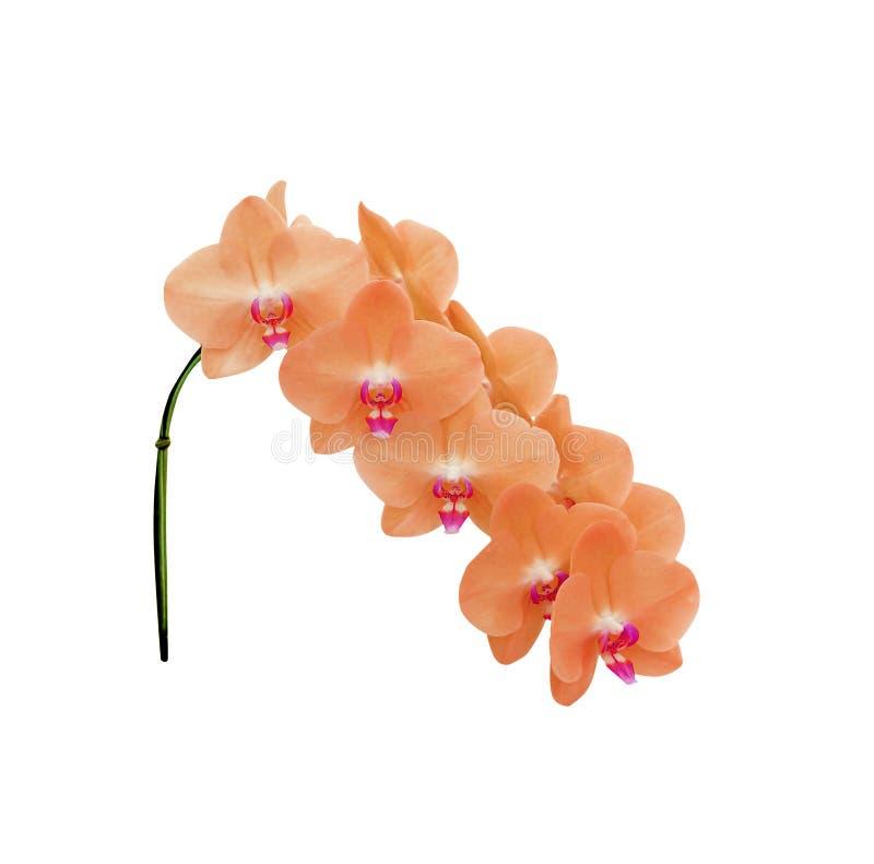 Orquídeas anaranjadas coloridas dulces del phalaenopsis de la inflorescencia con la floración rosada del grupo aisladas en el fon imagen de archivo