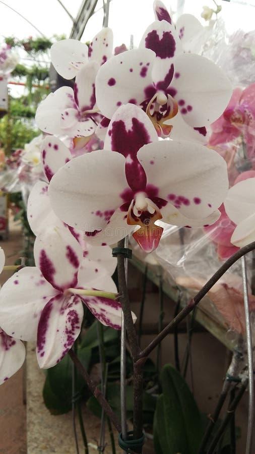 Orquídeas blancas y púrpuras del Phalaenopsis imágenes de archivo libres de regalías