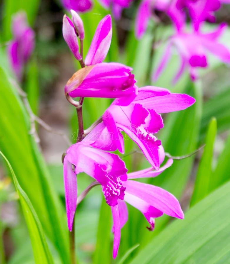 Orquídeas blancas y púrpuras tropicales foto de archivo libre de regalías