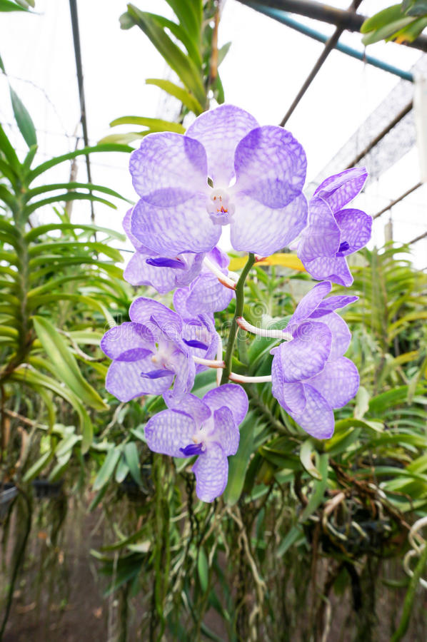 Orquídeas bonitas de Vanda Coerulea na exploração agrícola fotos de stock